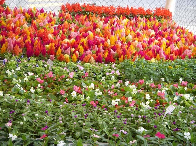 flores para jardim verao : flores para jardim verao:, Flores, Mudas de Flores, Buquet de Flores, Flores em Vasos, Flores